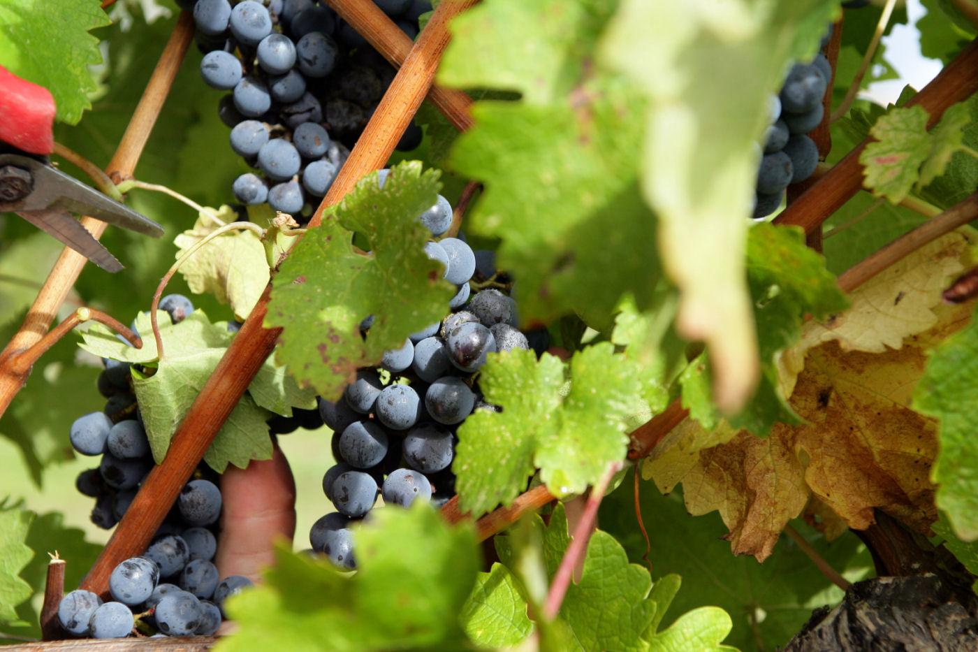 wijntrossen
